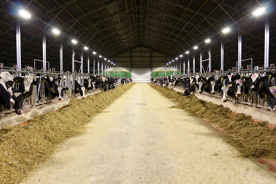 Stal Cools AGRILED LED stalverlichting koeien varkens paarden LED barn lighting dairy cows horses pigs sows LED Stallbeleuchtung Rindvieh LED d'éclairage bovin Équin Caprin Porcins
