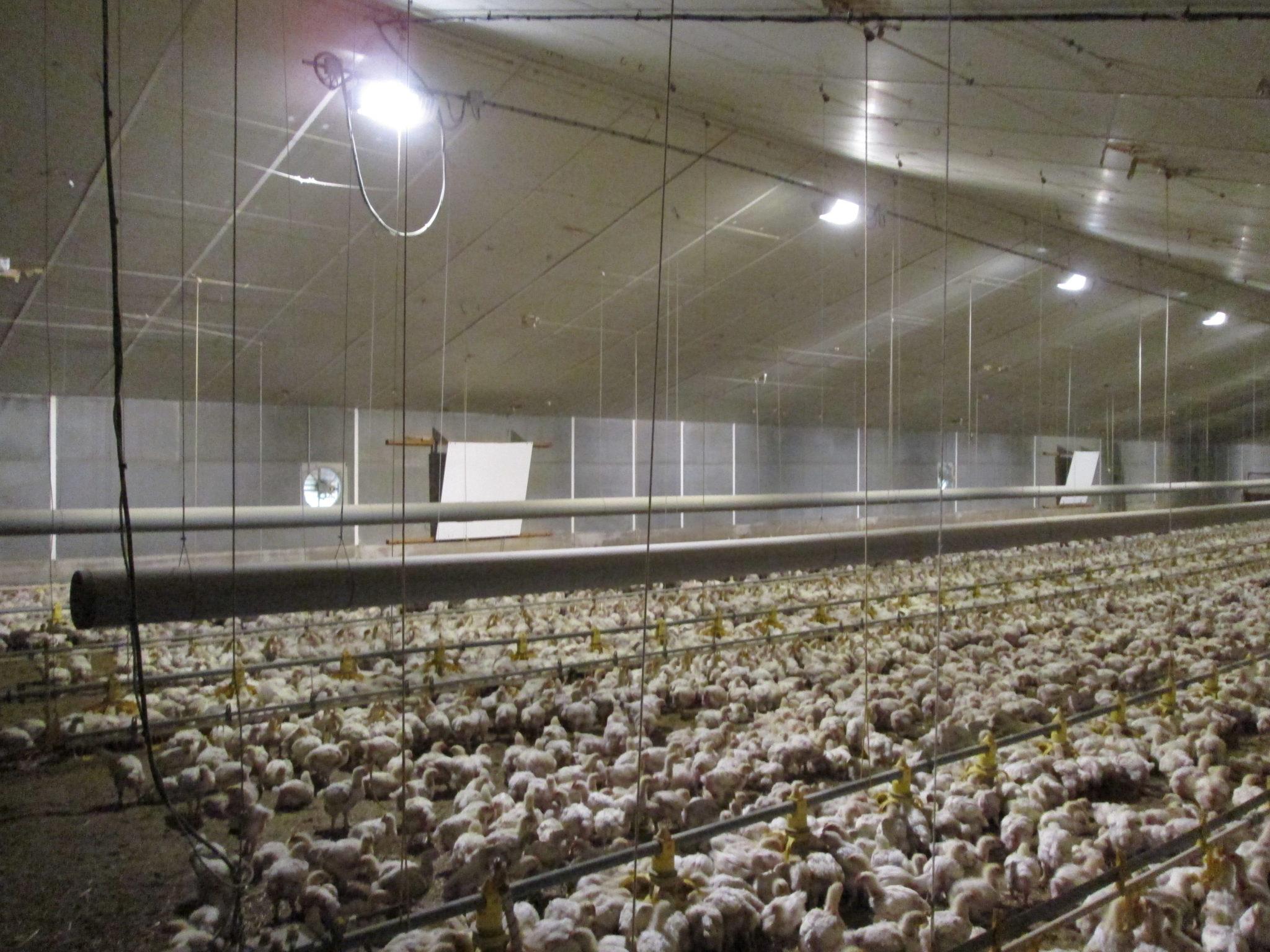 Stal Jéhannin LED Stallbeleuchtung Geflügel LED Stalverlichting kippen LED d'éclairage Volaille LED barn lighting broilers